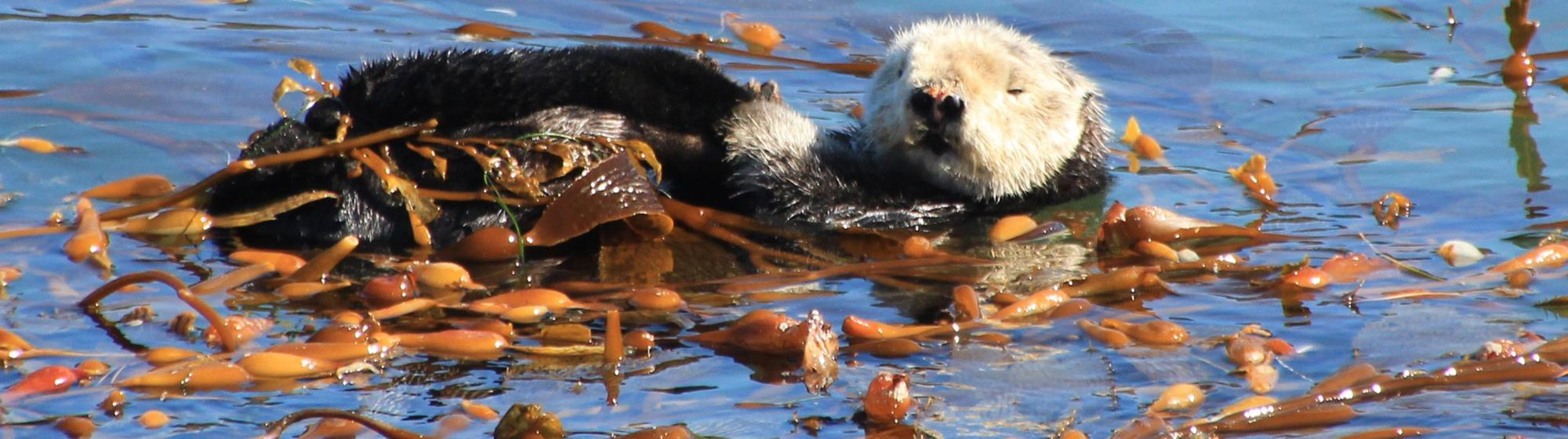 photo of a sea otter