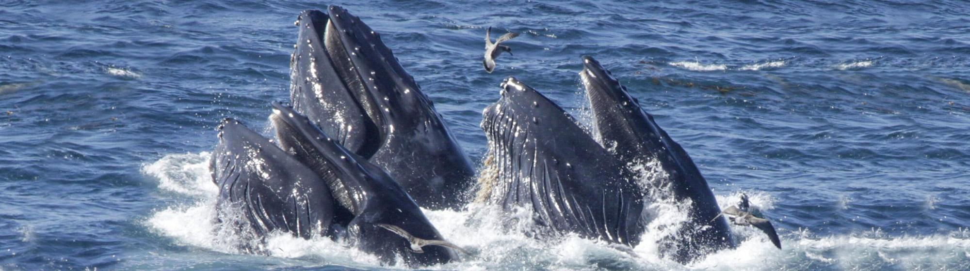 photo of whales breaching