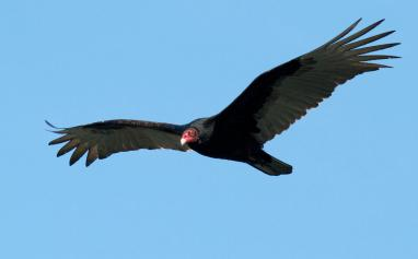 photo of a Turkey Vulture flying