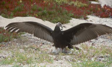 photo of Turkey Vulture spreading its wings