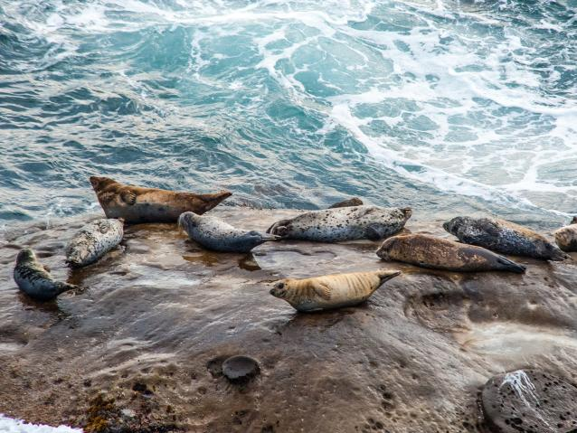 photo of harbor seals