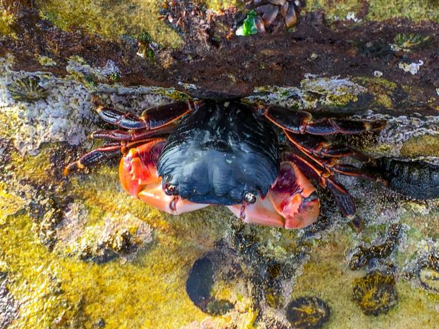 photo of a lined shore crab