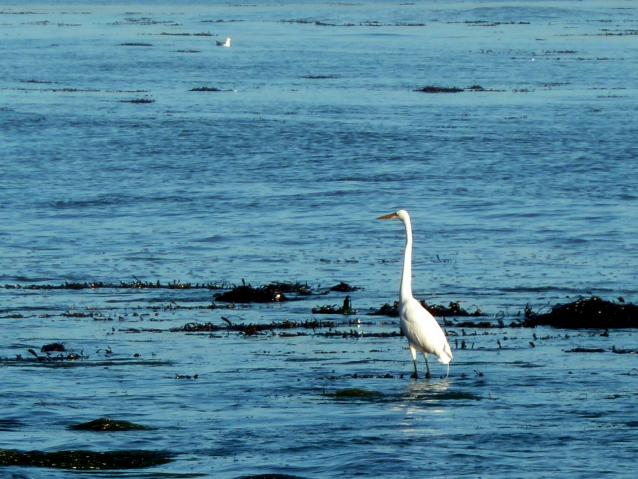 photo of a snowy egret