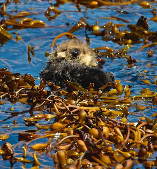 photo of a sea otter floating in kelp