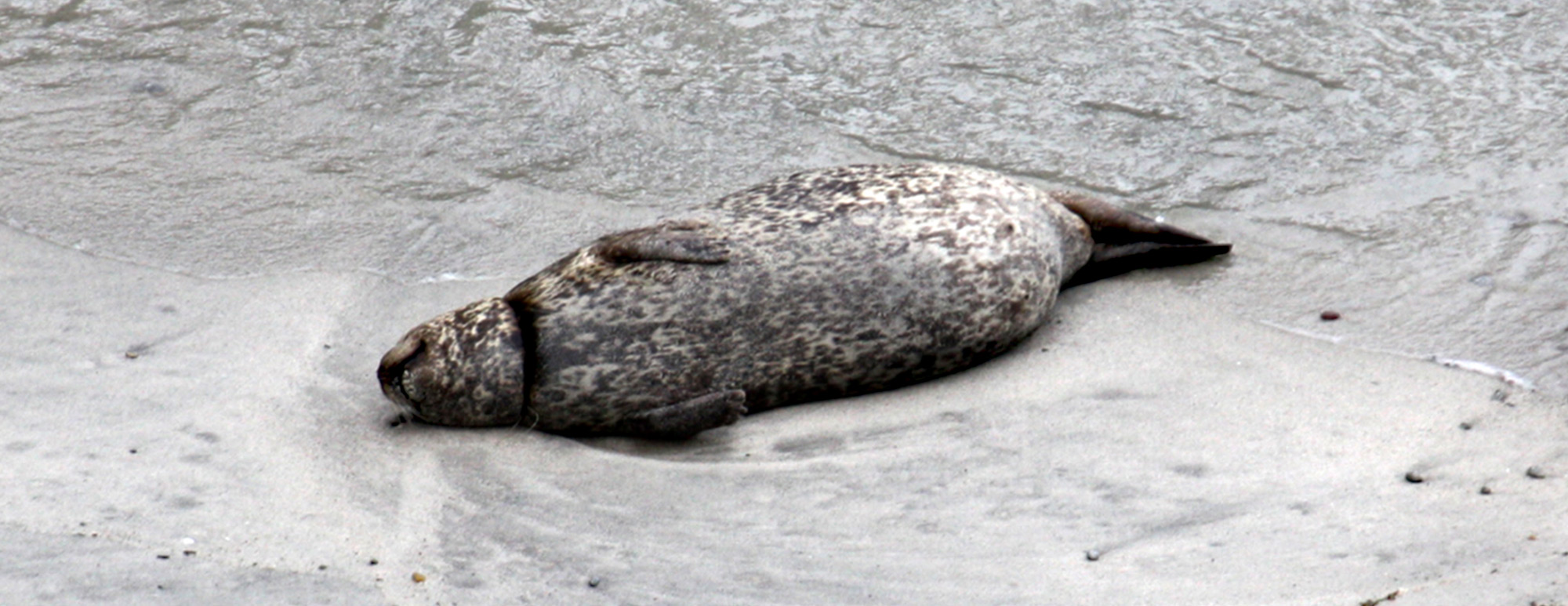 photo of a harbor seal with plastic wrapped around its' neck